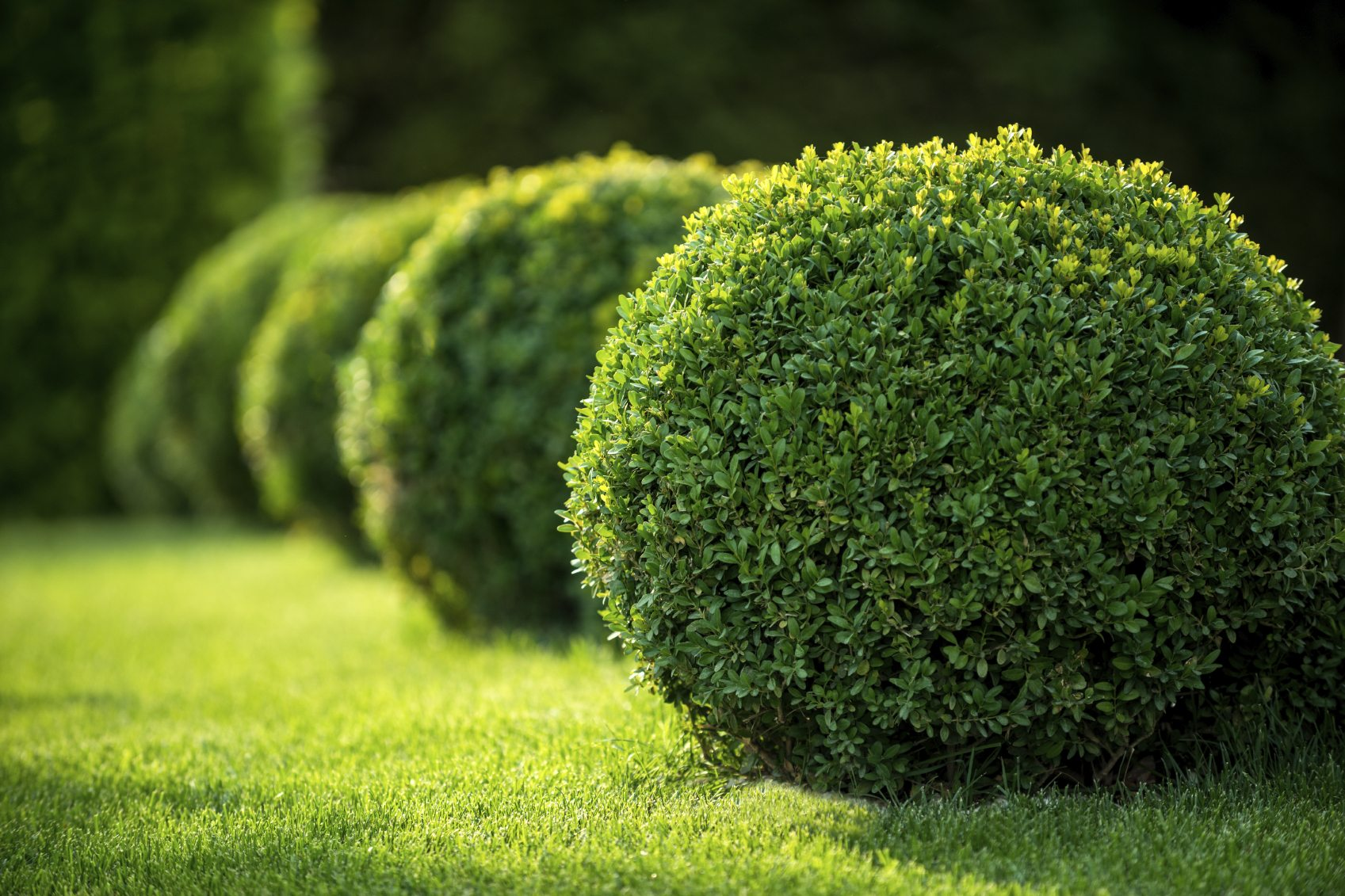 Boxwood plant food learn about boxwood fertilizer for Landscaping shrubs