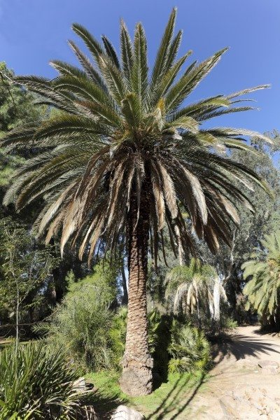 Alley of Canary island Date palm trees in Boyce Thompson arboretum state park, Arizona