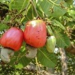 Cashew apple on the tree