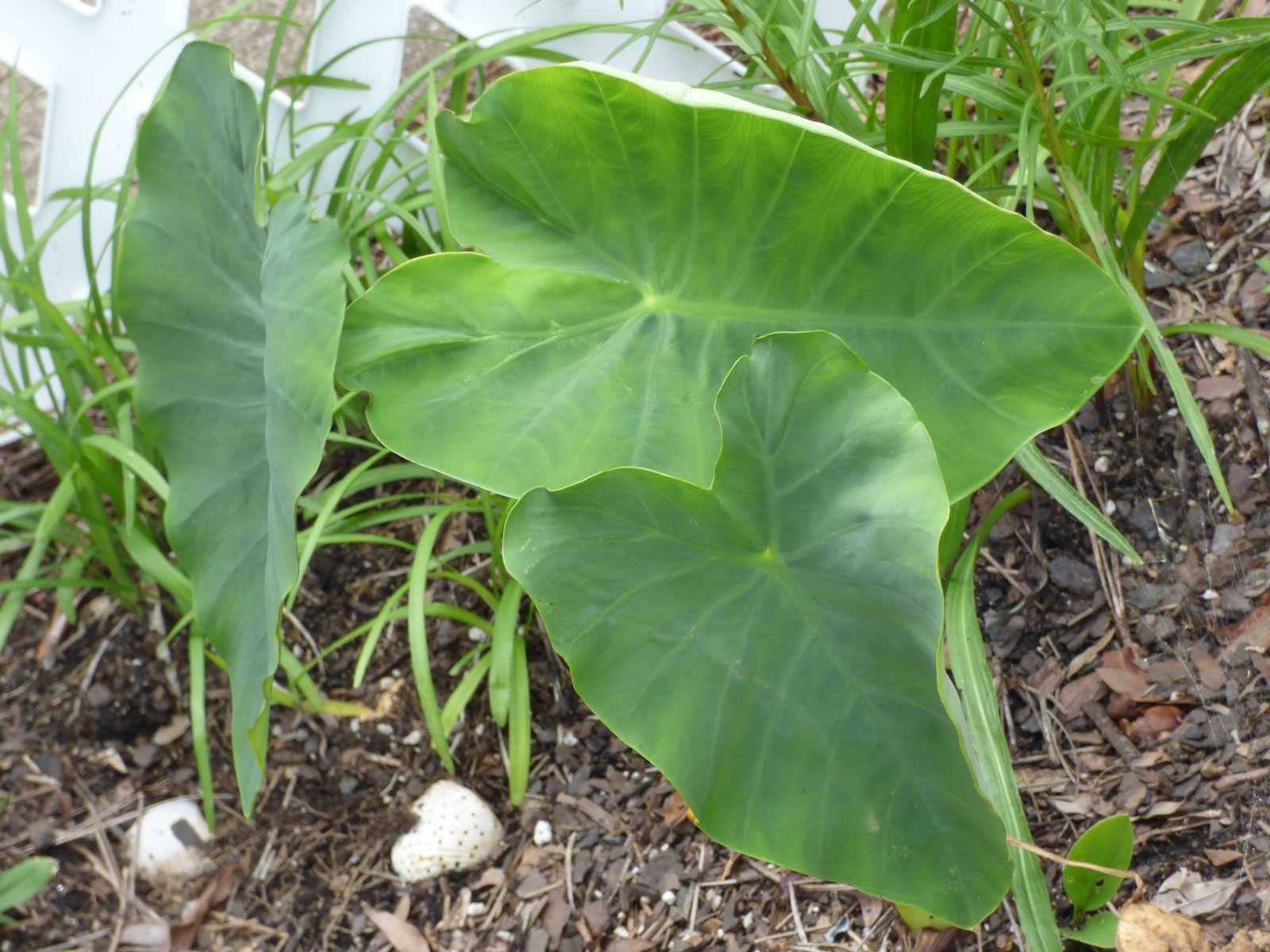 problems with elephant ear plants do elephant ears affect nearby plants. Black Bedroom Furniture Sets. Home Design Ideas