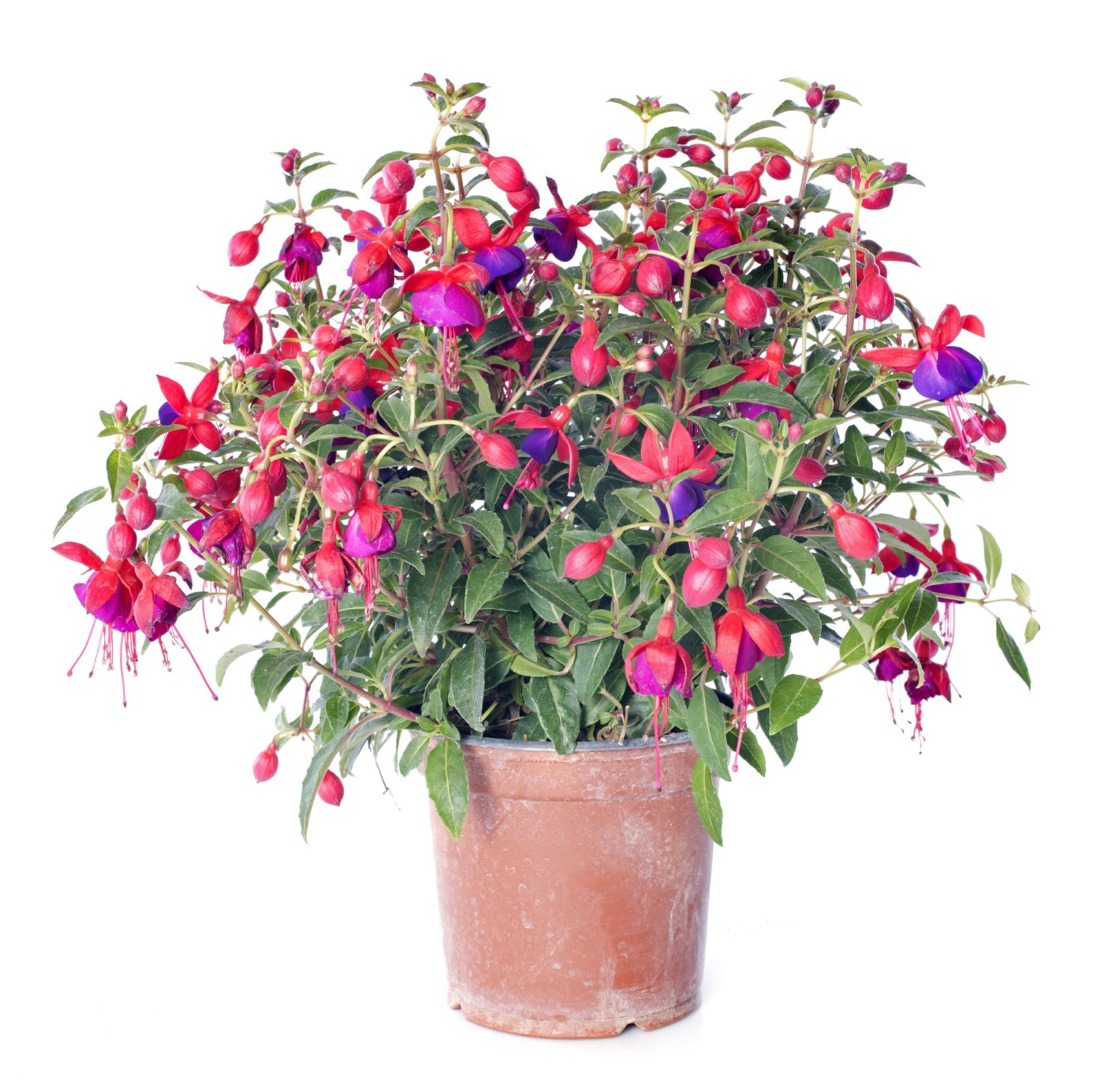 How To Grow Fuchsias Indoors – Learn About Fuchsia Plant Care Indoors
