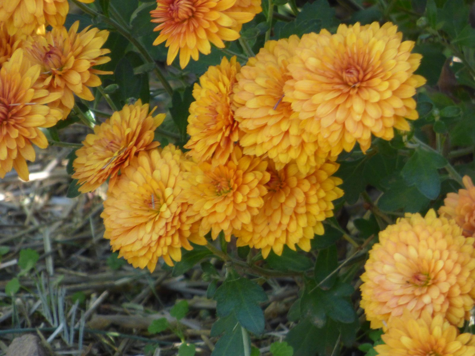 Lifespan Of Mums How Long Do Chrysanthemums Last