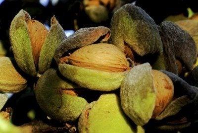harvest almond