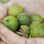 harvest macadamia