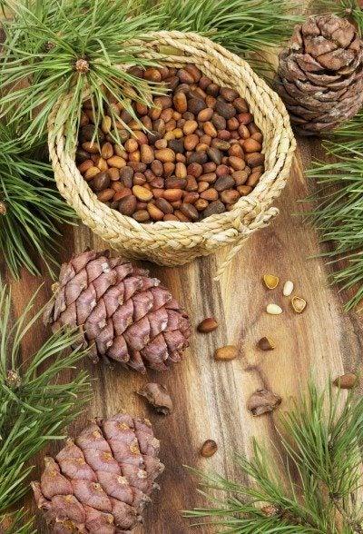 harvest pine nuts