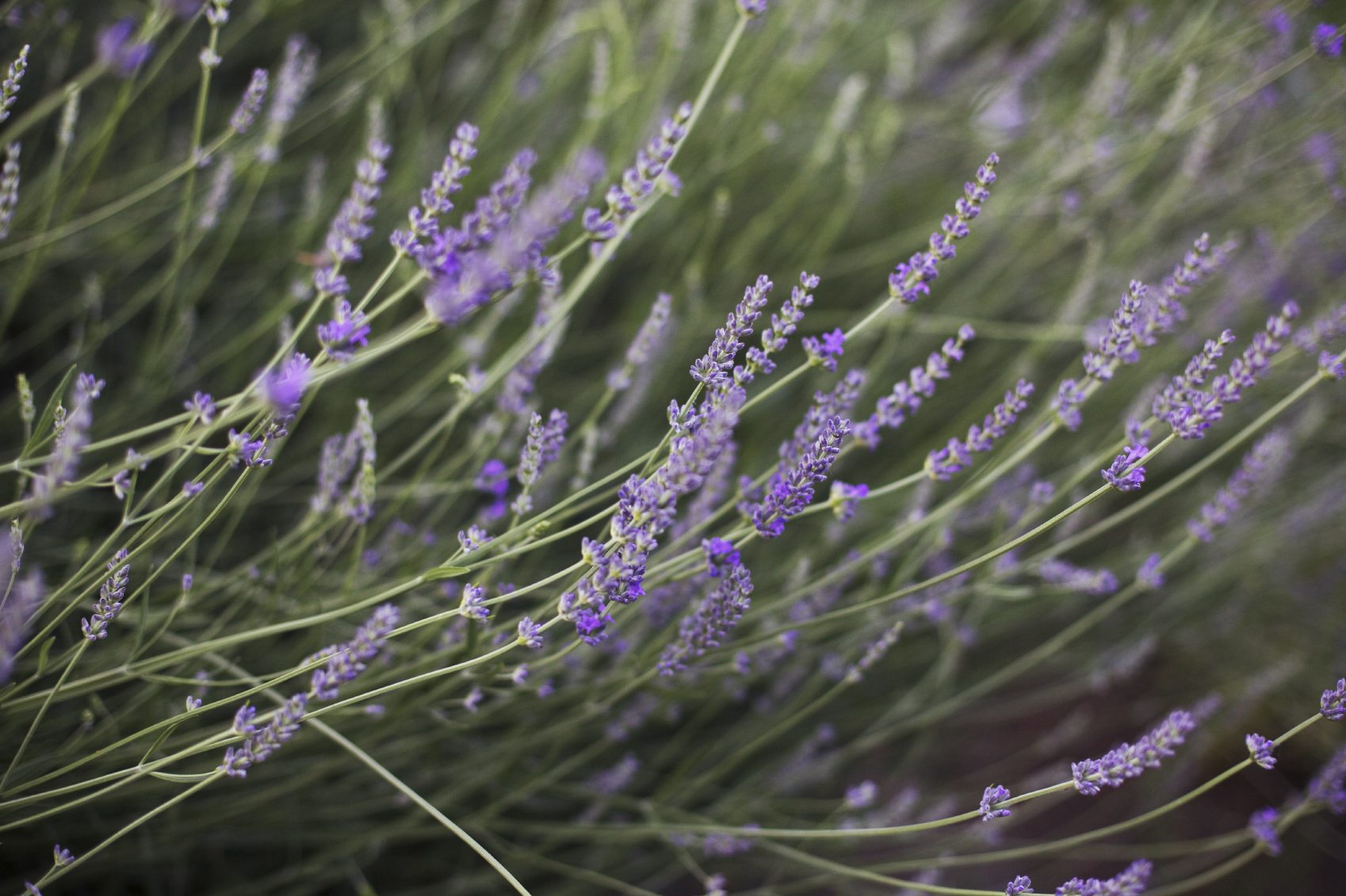 lavender flowers drooping fixing droopy lavender plants in the garden. Black Bedroom Furniture Sets. Home Design Ideas
