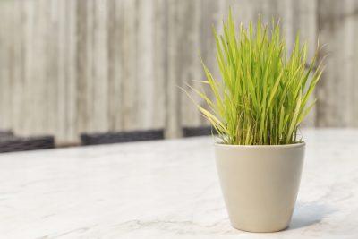 Growing Lemongr Indoors Tips On Planting In Pots