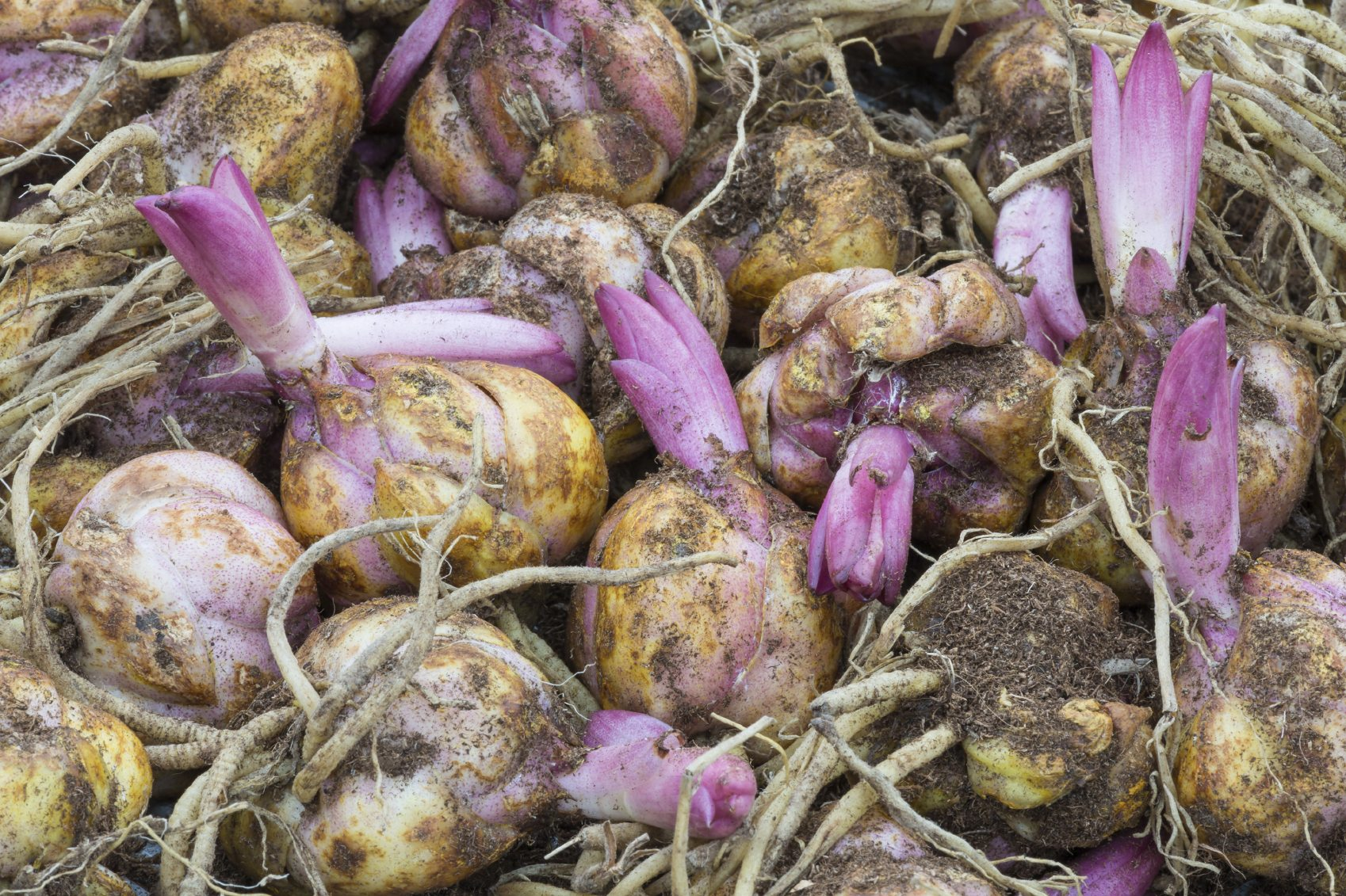 Storing Lily Bulbs How To Care For A Lily Plant Over Winter