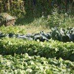midsummer veggies