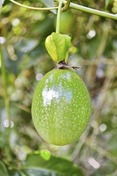 passion fruit harvest