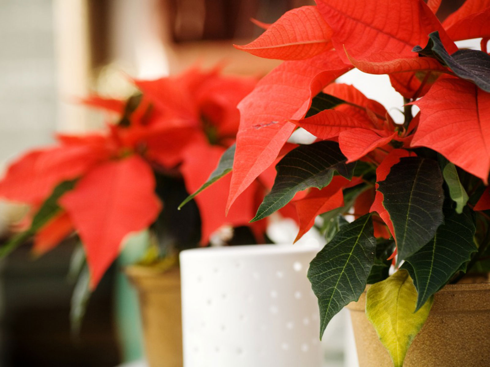 After Christmas Poinsettia Care How To Care For A Poinsettia After Christmas
