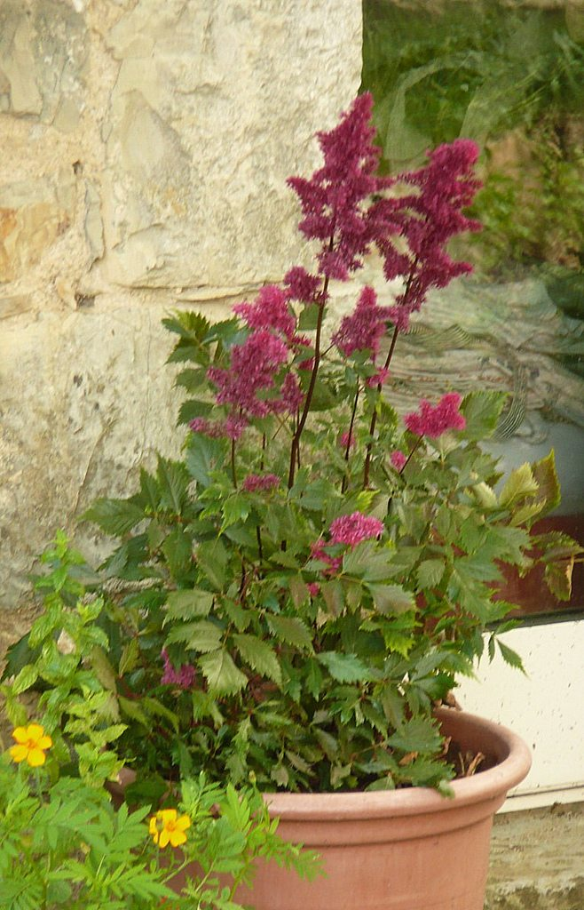 Potted astilbe plants how to grow astilbe in containers for Easy plants to grow in pots outside