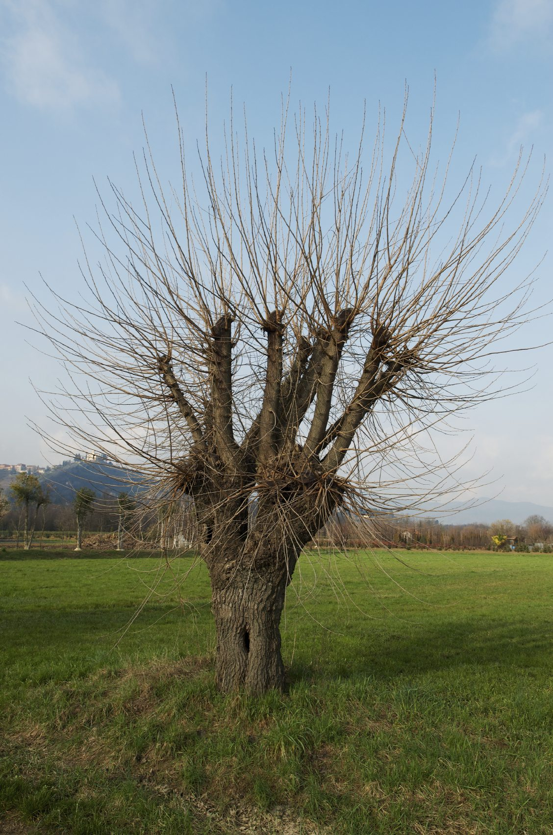 Guide to mulberry tree pruning information on pruning for Mullberry home