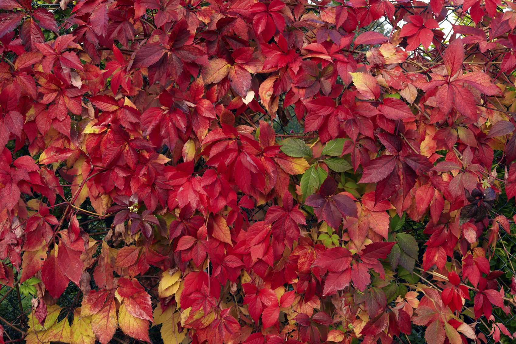 Why Foliage Doesn T Turn In Shrubs Or