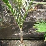 spindle palm plant