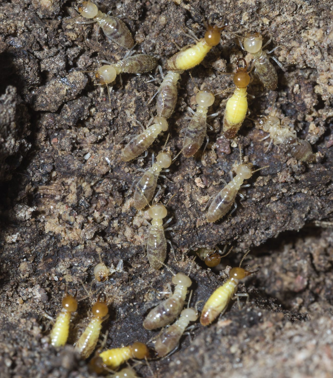 What To Do About Termites In Mulch Piles