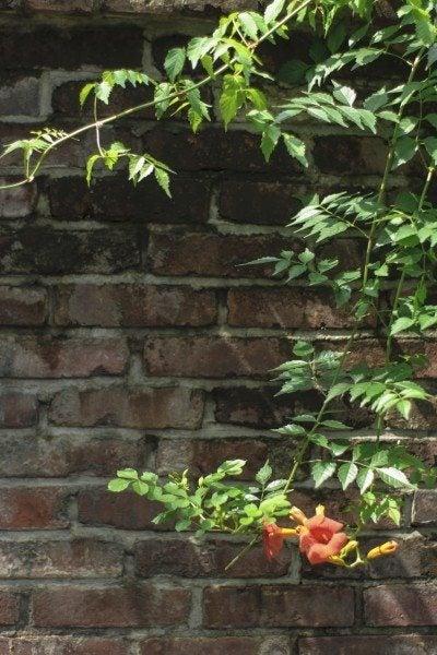 Trumpet creeper or Campsis radicans blossoms