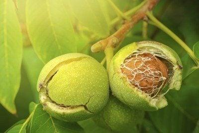 Ripe open green walnut fruit on branch in organic orchard