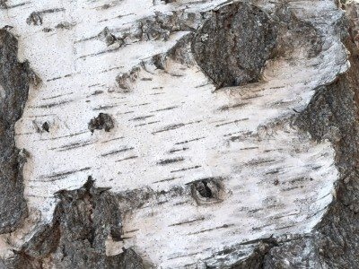 Troubleshooting Willow Tree Problems Reasons For Peeling Bark On