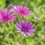 Violet Pink Osteosperumum Flower Daisy