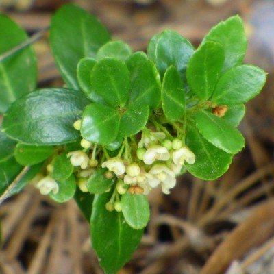 boxwood-blooms