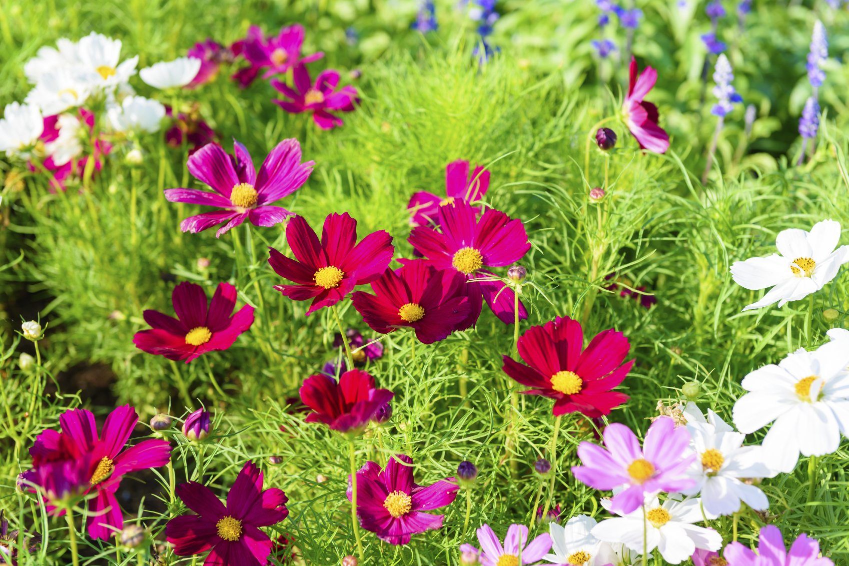 Different Varieties Of Cosmos Flowers