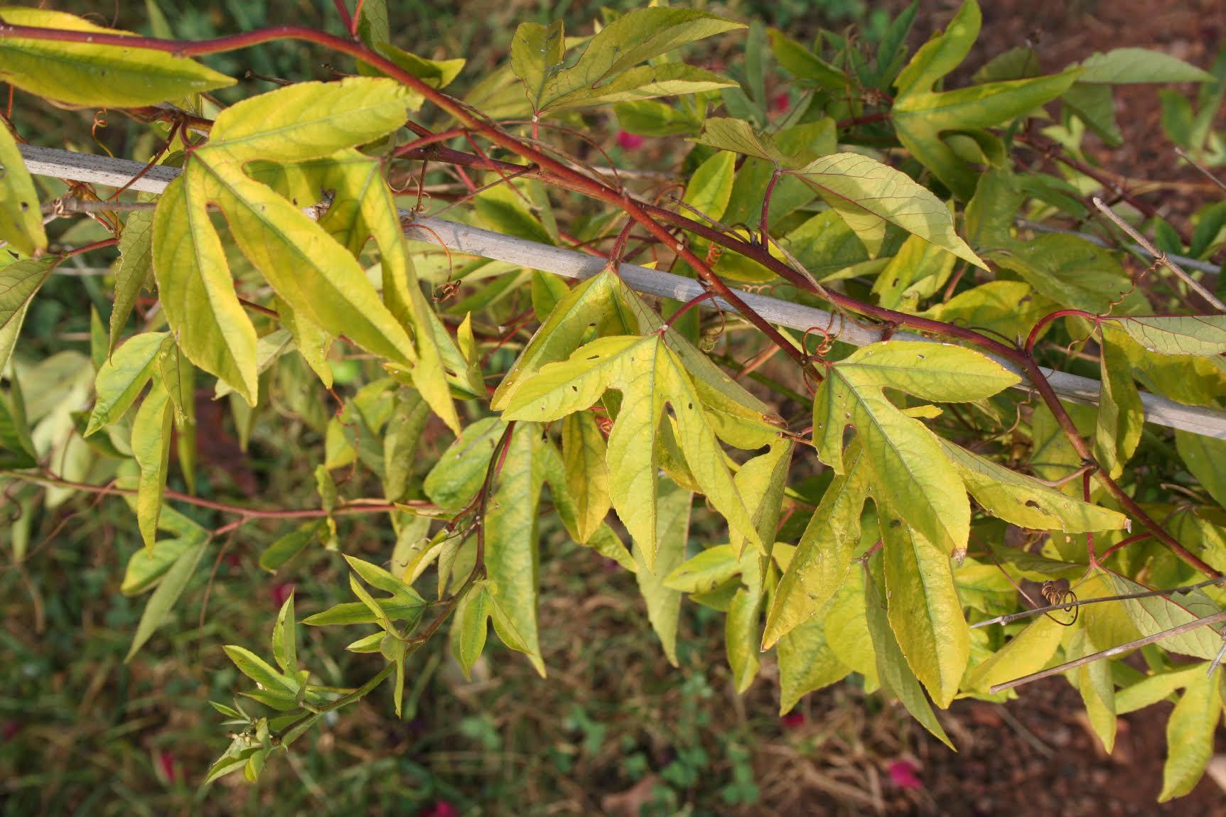 Passion Flower Vine Diseases Treating Passion Flower Vine Problems
