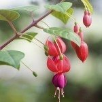 Beautiful red Fuchsia or Lady's Eardrops flower