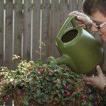 fuchsia watering