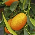harvest kumquat