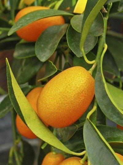Kumquat Harvest Season When And How To Harvest Kumquats