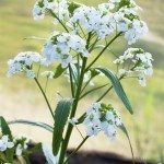 Blooming horseradish outdoors. Flowers in nature