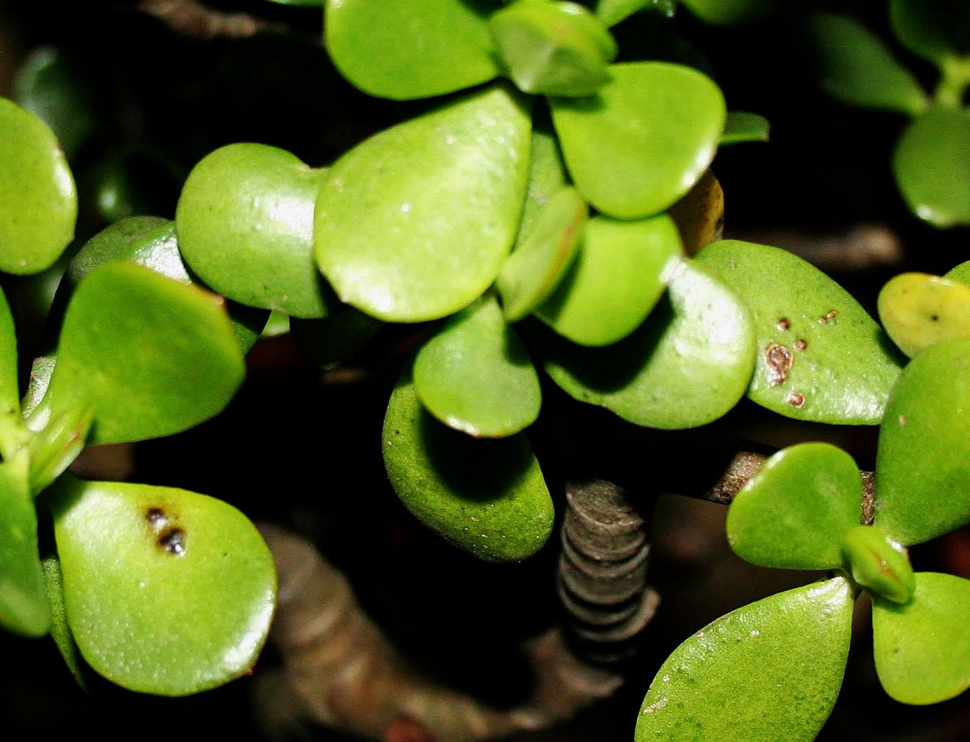 Jade Plant Problems What To Do For Black Spots On Jade Plant Leaves