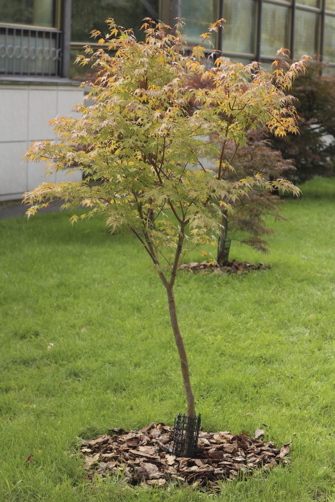 Japanese maple tree facts lifespan of japanese maple trees for Japanese maple tree