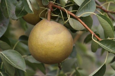 Pear Varieties What Are Some Common Types Of Trees