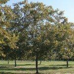 pecan pruning