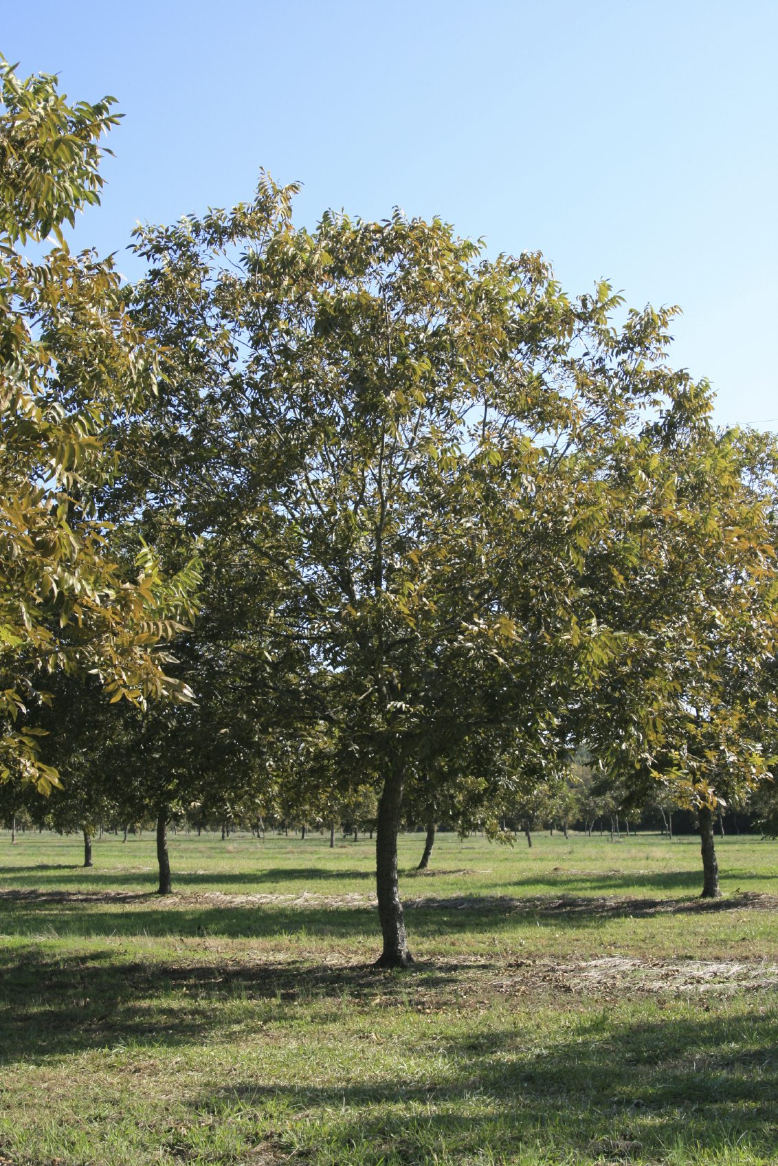 how to start a pecan tree from a nut