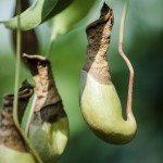 pitcher pest