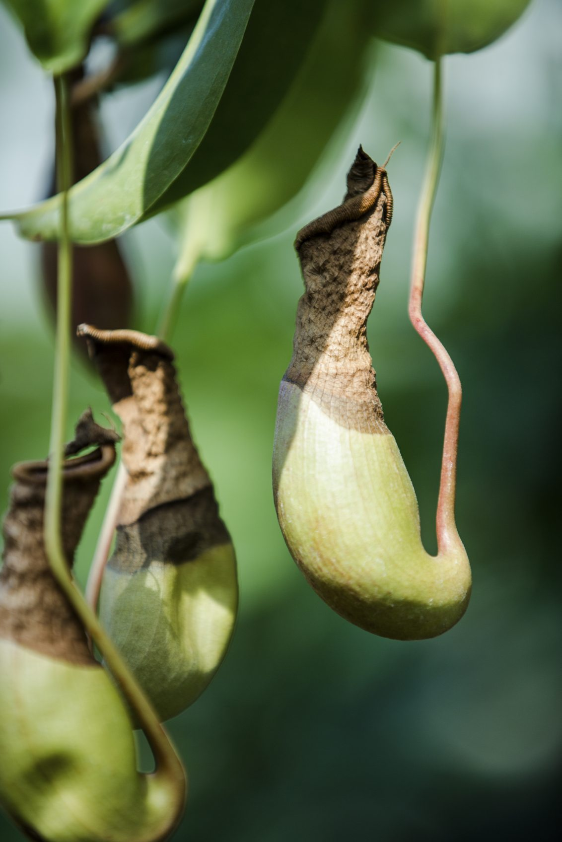 Pitcher Plant Pests How To Get Rid Of Bugs On