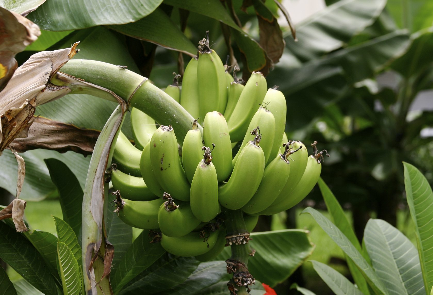 Providing Tree And Plant Care: Caring For Plantain Trees: Information On Growing Plantains