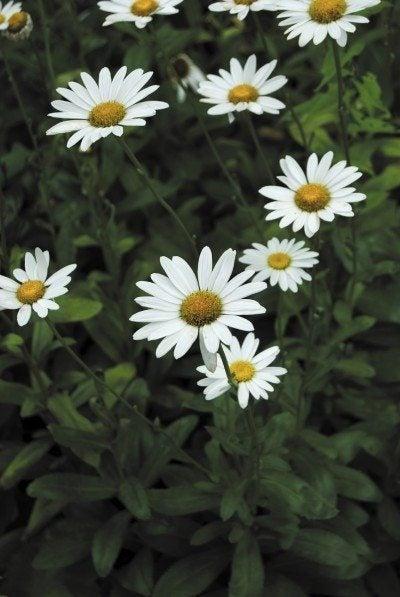 shasta daisy pruning
