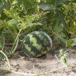 small watermelon in the garden in fine clear weather