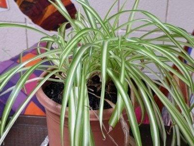 spider-plant1