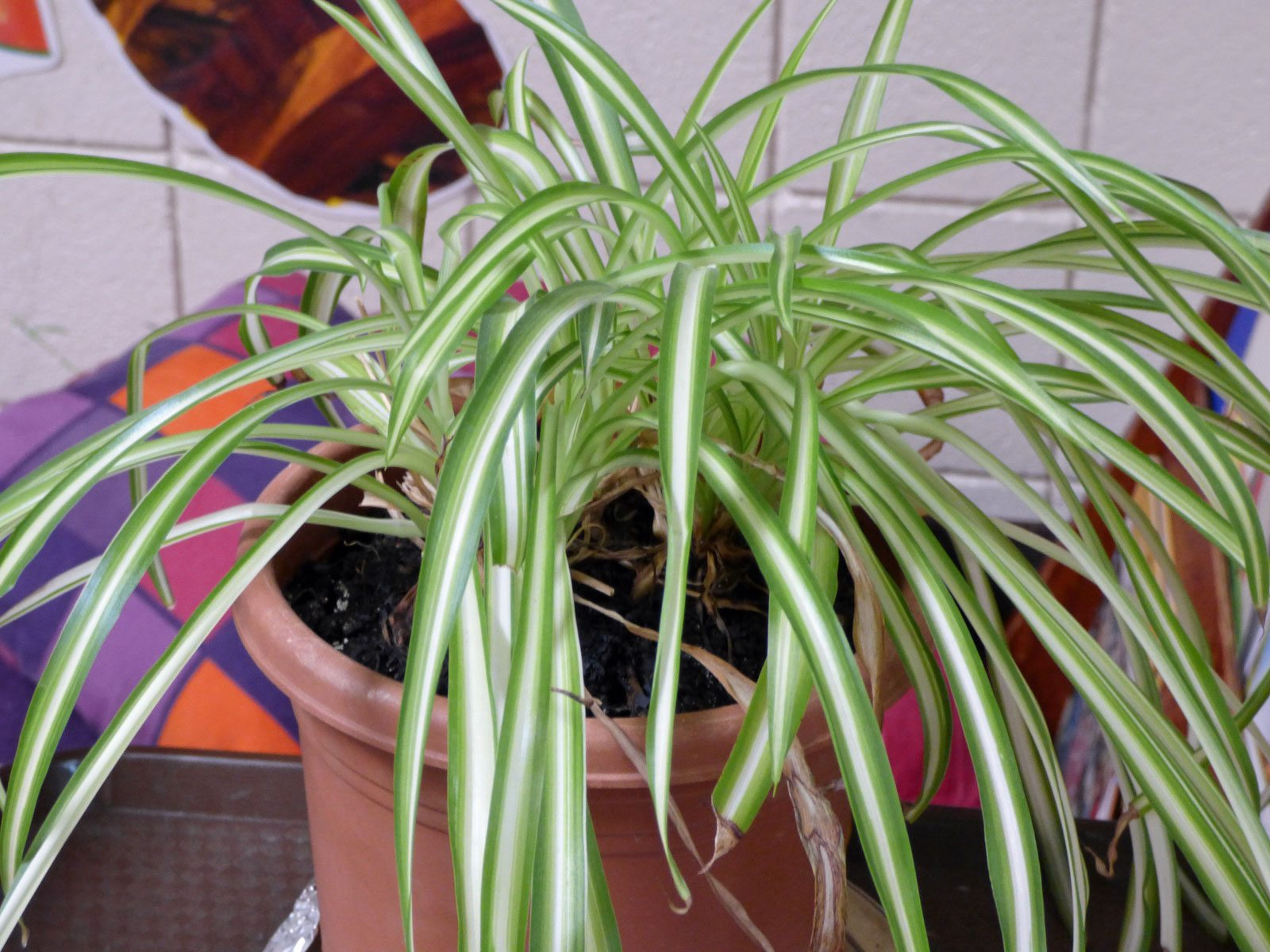 No Babies On Spider Plant – Why Is My Spider Plant Not ...