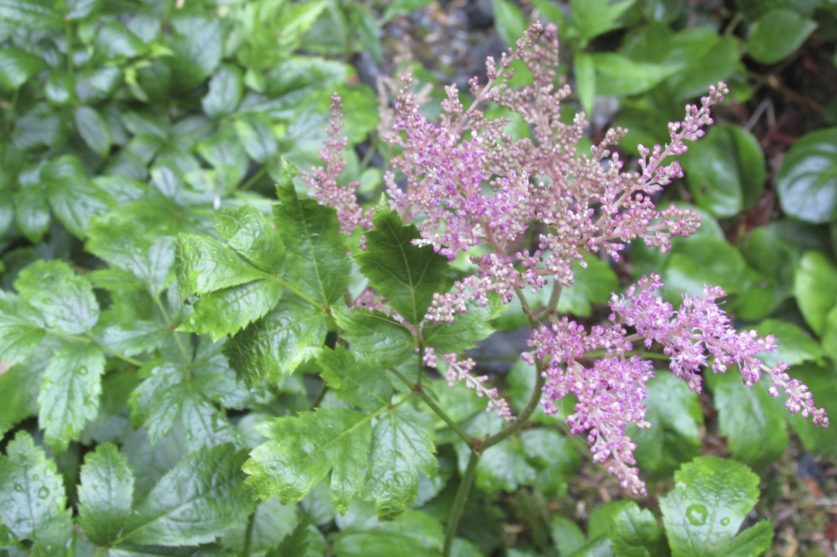 How to Divide Astilbe forecast