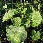 zucchini virus