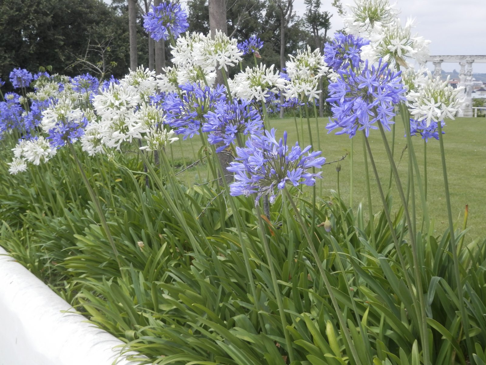 Winter care for agapanthus learn how to care for - Plantas trepadoras de sol ...