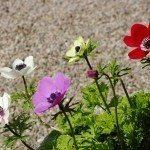 anemone variety