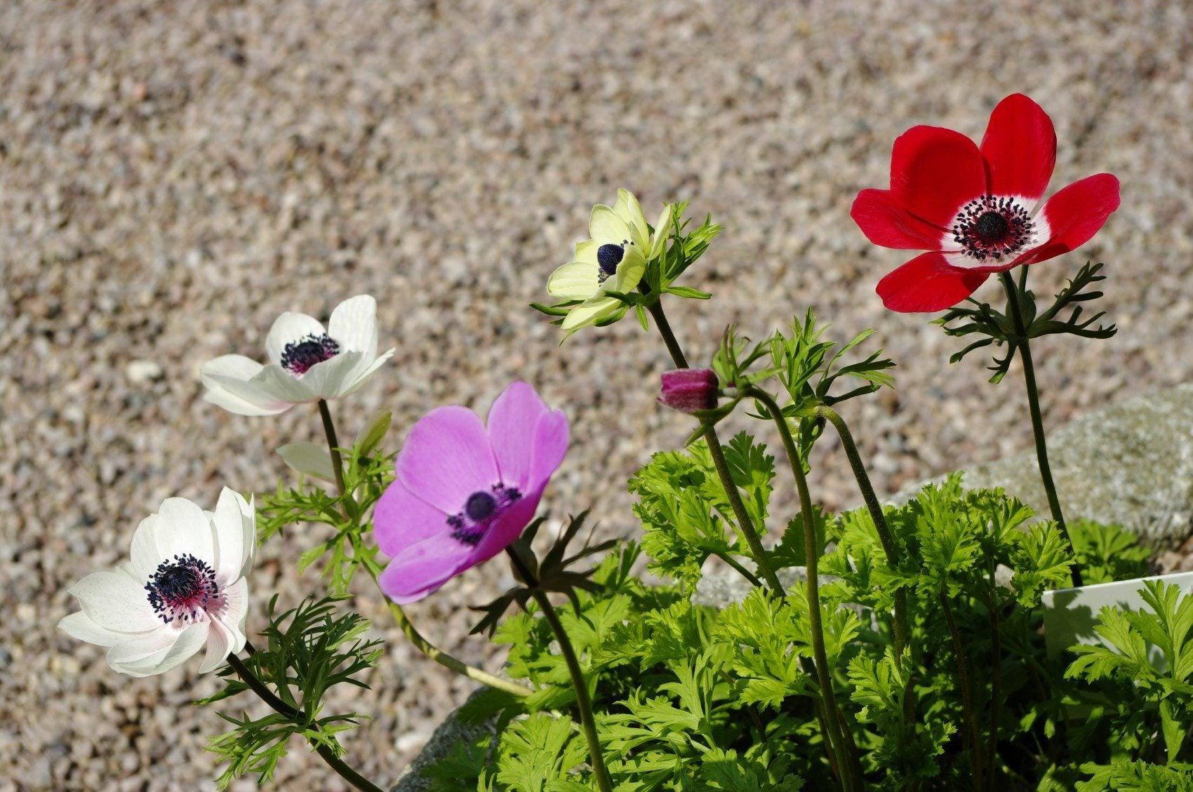 Varieties Anemone – Different Types Anemone Flowers