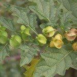 Physalis, Hog-Plum, Husk-Tomato, Wild-Pompion, Chinese Lantern, Bladder Cherry, Cape Gooseberry